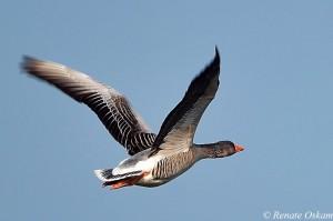 natuurfotografie-eend-in vogelvlucht
