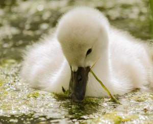 natuurfotografie jonge zwaan reeuwijkse plassen