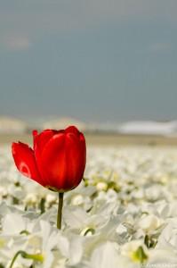 natuurfotografie-tulp-hillegom