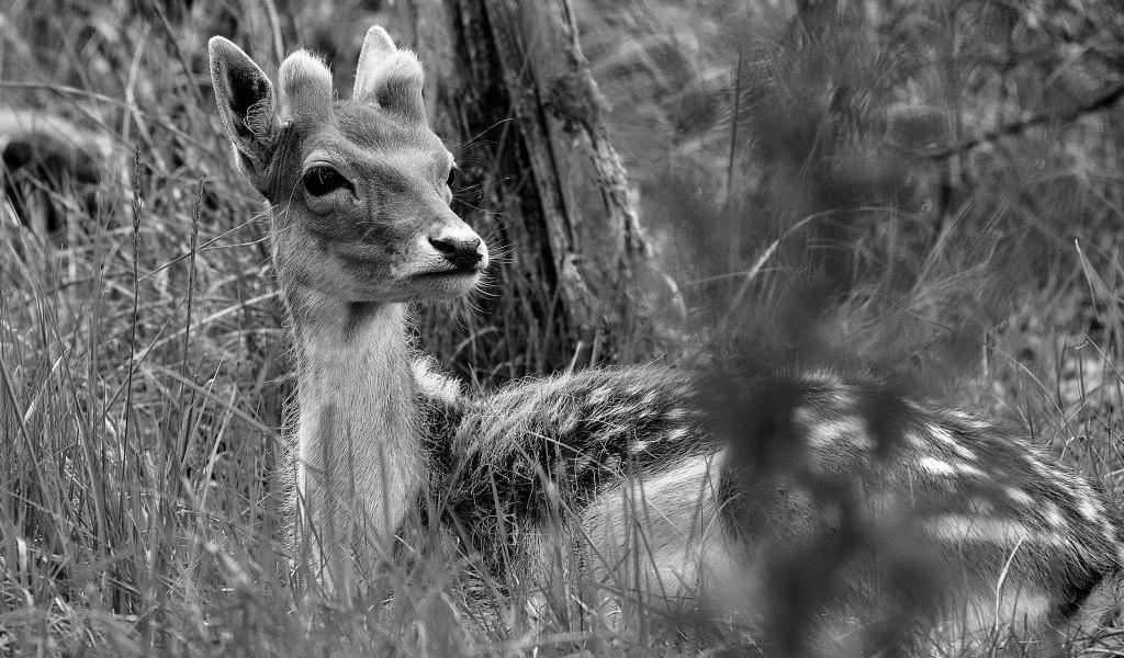 natuurfotografie AWD damhert