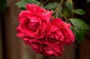 roos met regen