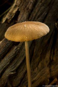 landschapsfotografie-paddenstoel-haagse-bos