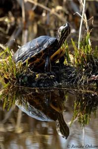 natuur reeuwijk schildpad